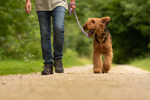 Airedale Terrier. Dog handler is walking with his obedient dog on the road in a forest.