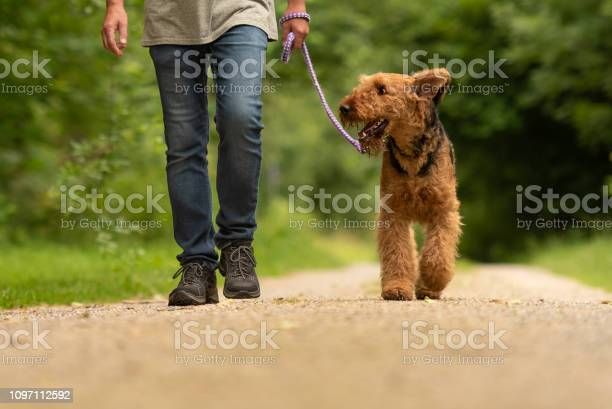 Airedale terrier dog handler is walking with his obedient dog on the picture id1097112592?b=1&k=6&m=1097112592&s=612x612&h=ldjxtrfwsxzzuzzgri8 rht qfsrt4thscipqg3yzlu=