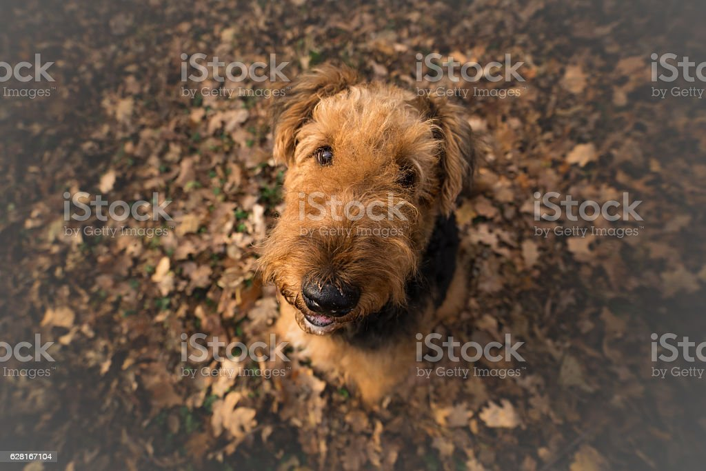 Airedale Terrier Dog in looking at the camera stock photo