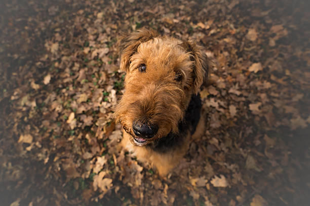 Airedale Terrier Dog in looking at the camera - Photo