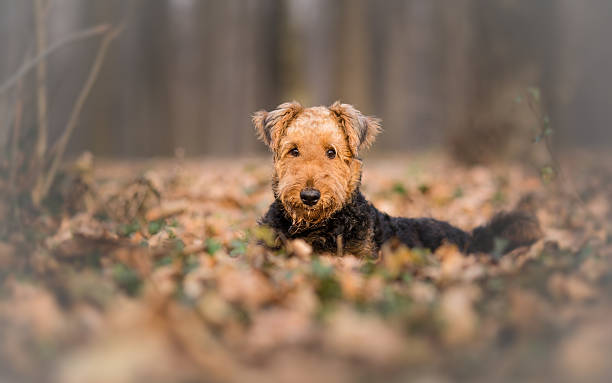 Airedale Terrier Dog in the forest portrait - Photo