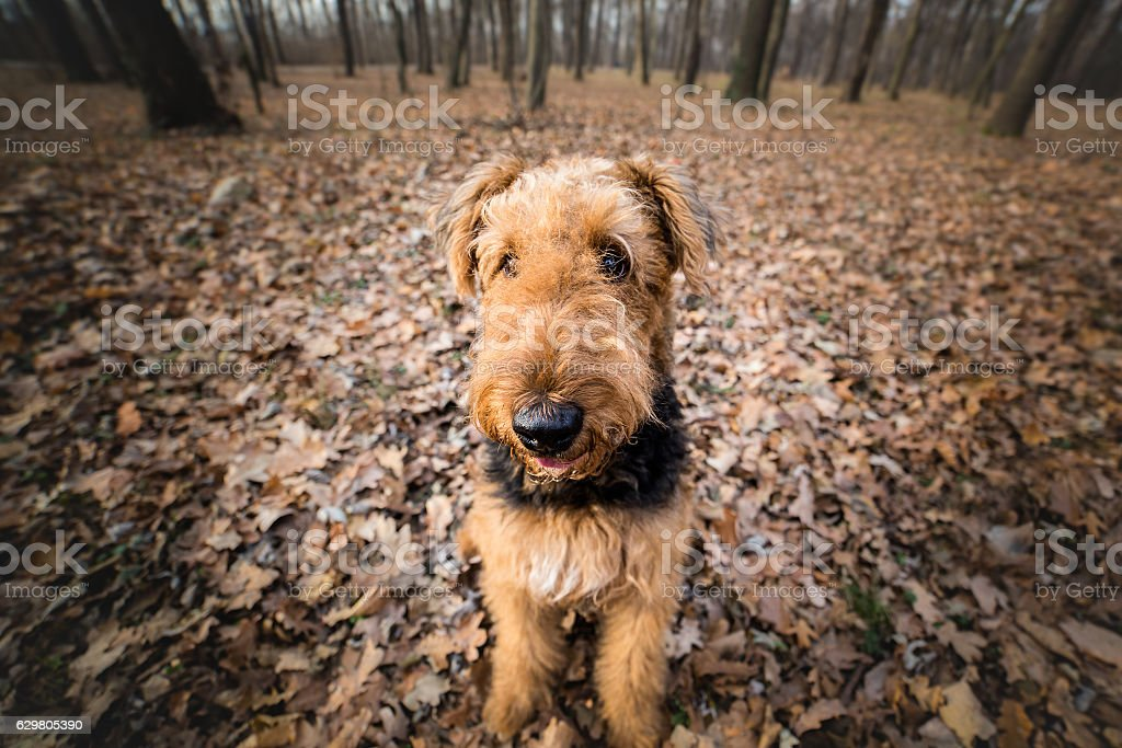 Airedale Terrier Dog in the forest portrait stock photo