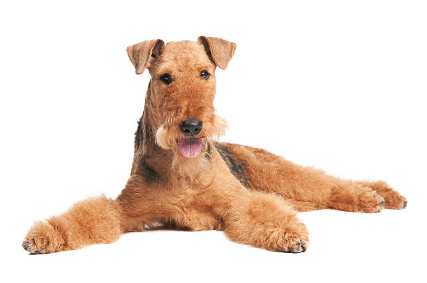 Airedale Terrier chien isolé - Photo