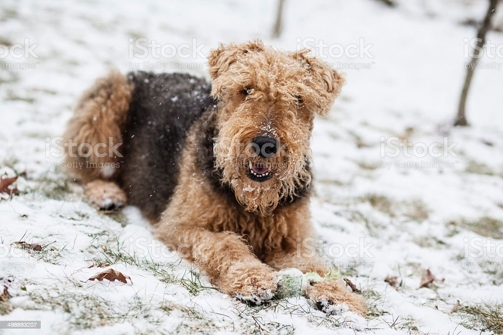 Airedale terrier dog lied on snow royalty-free stock photo