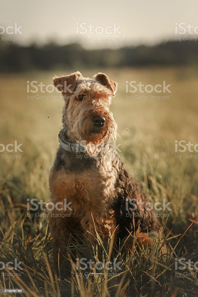 Airedale terrier dog outdoors stock photo