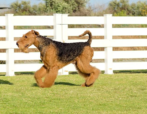 Airedale Terrier chien - Photo