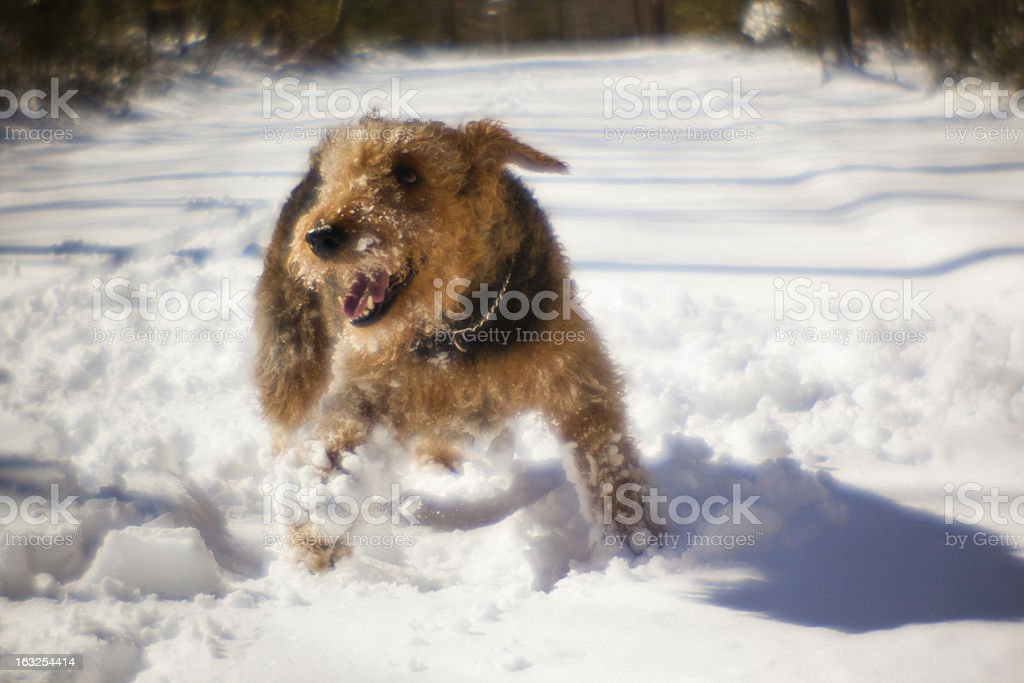 Airedale terrier dog play in snow stock photo