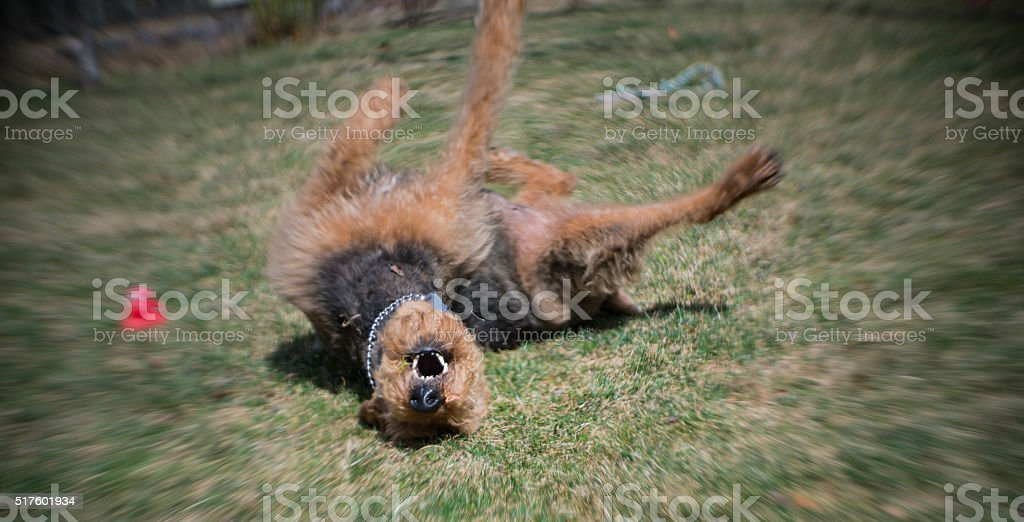 Airedale terrier dog play with a toy on the backyard stock photo