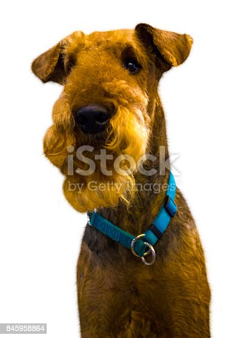 istock Airedale Terrier dog. Portrait of purebred dog Irish Terrier. Airedale portrait with white background 845958864
