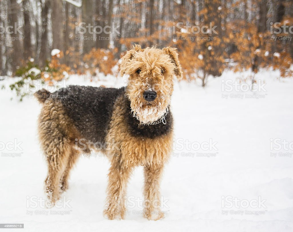 Airedale terrier dog run in snow stock photo