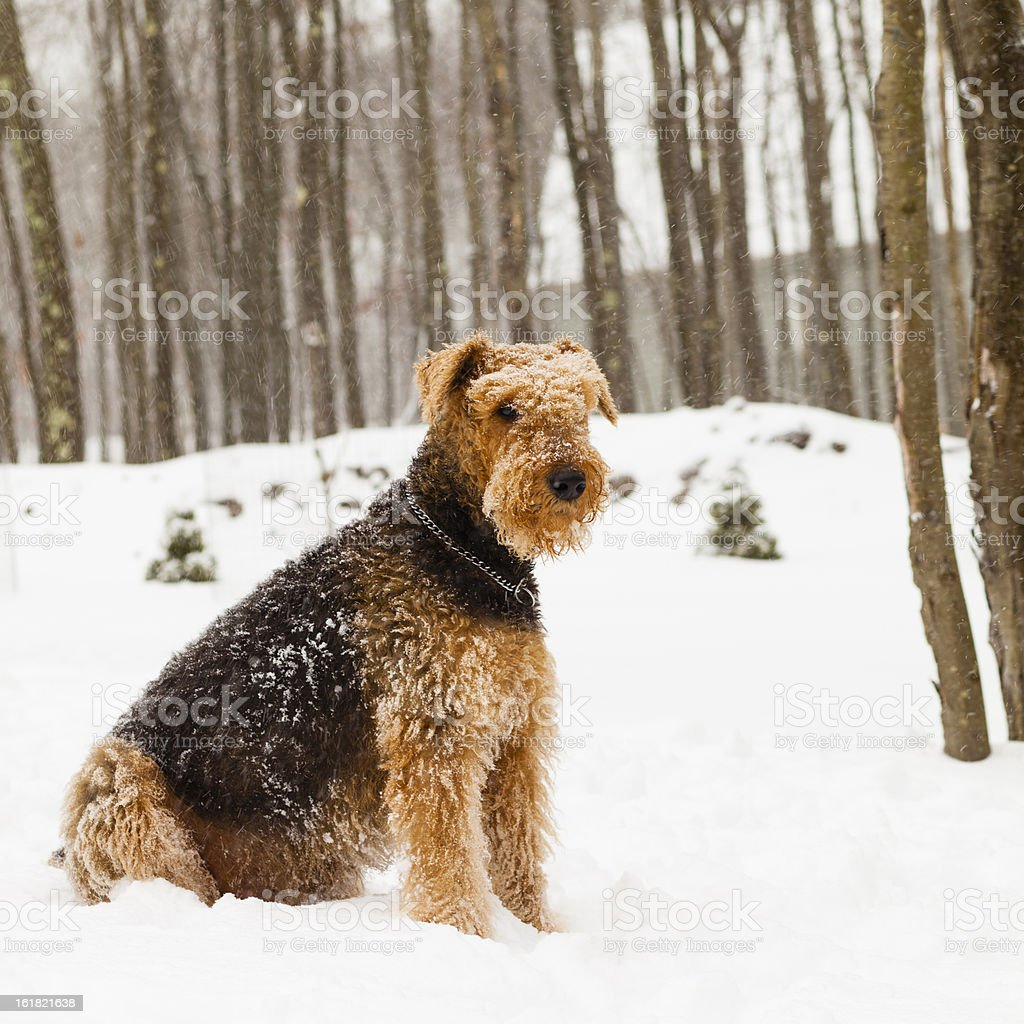 Airedale terrier dog sitting in snow stock photo