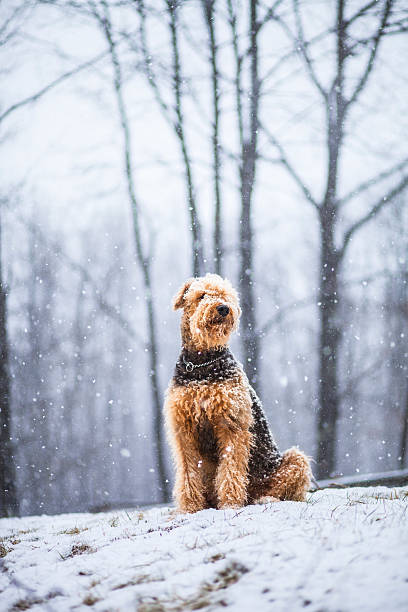 Airedale terrier dog sitting under snowfall stock photo