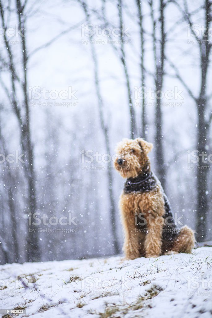 Airedale terrier dog sitting under snowfall royalty-free stock photo