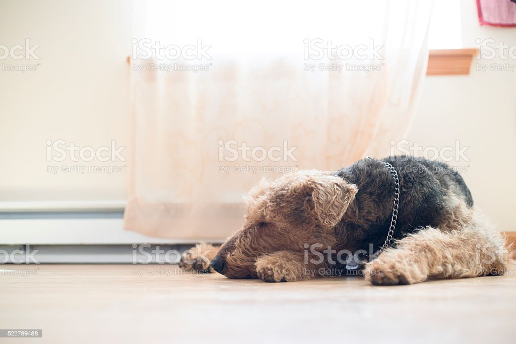 Airedale terrier dog sleeping on the floor next to window stock photo