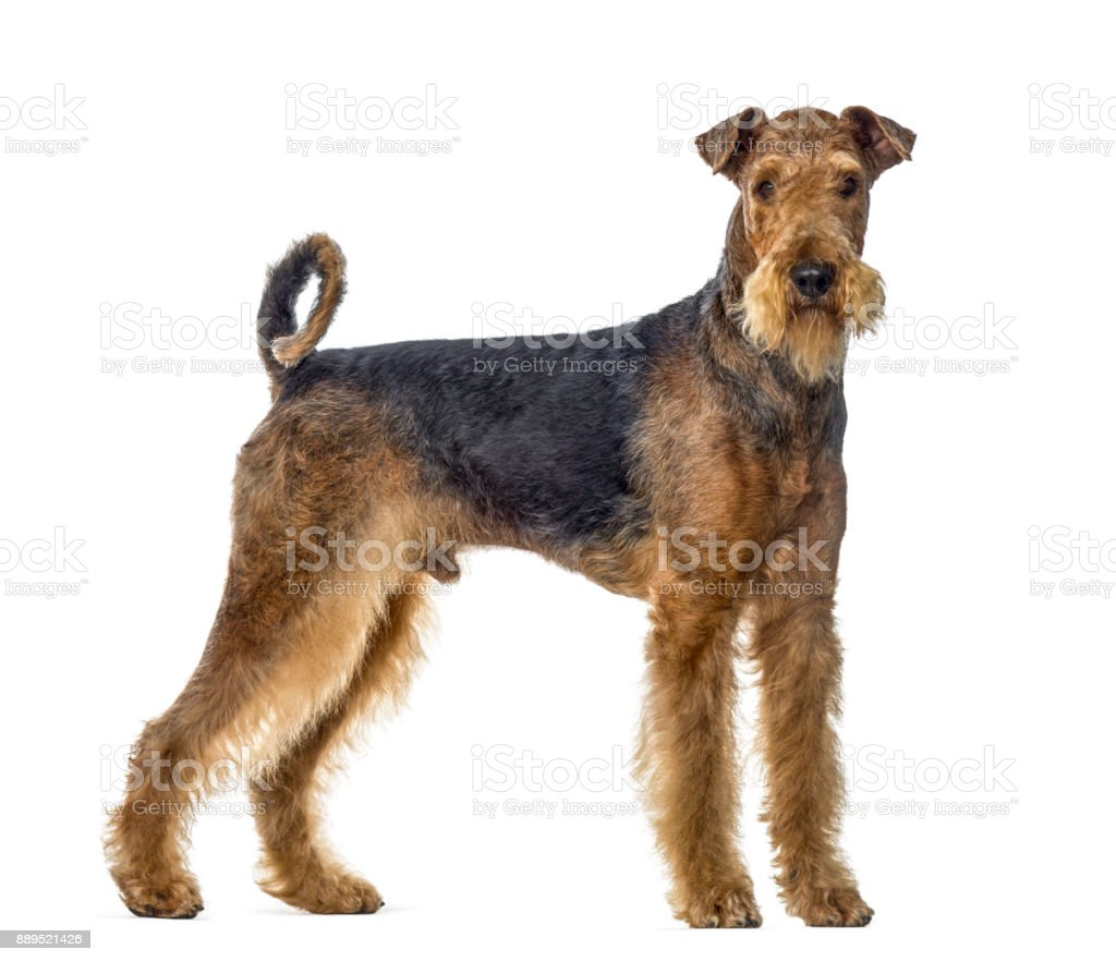airedale terrier dog standing and looking at the camera, isolated on white stock photo