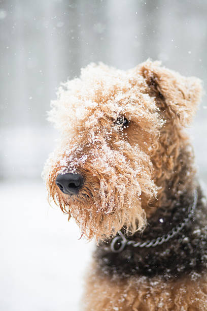 Airedale terrier dog under snowfall stock photo