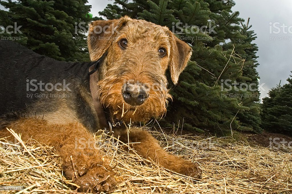 Airedale terrier dog with a muddy paw stock photo