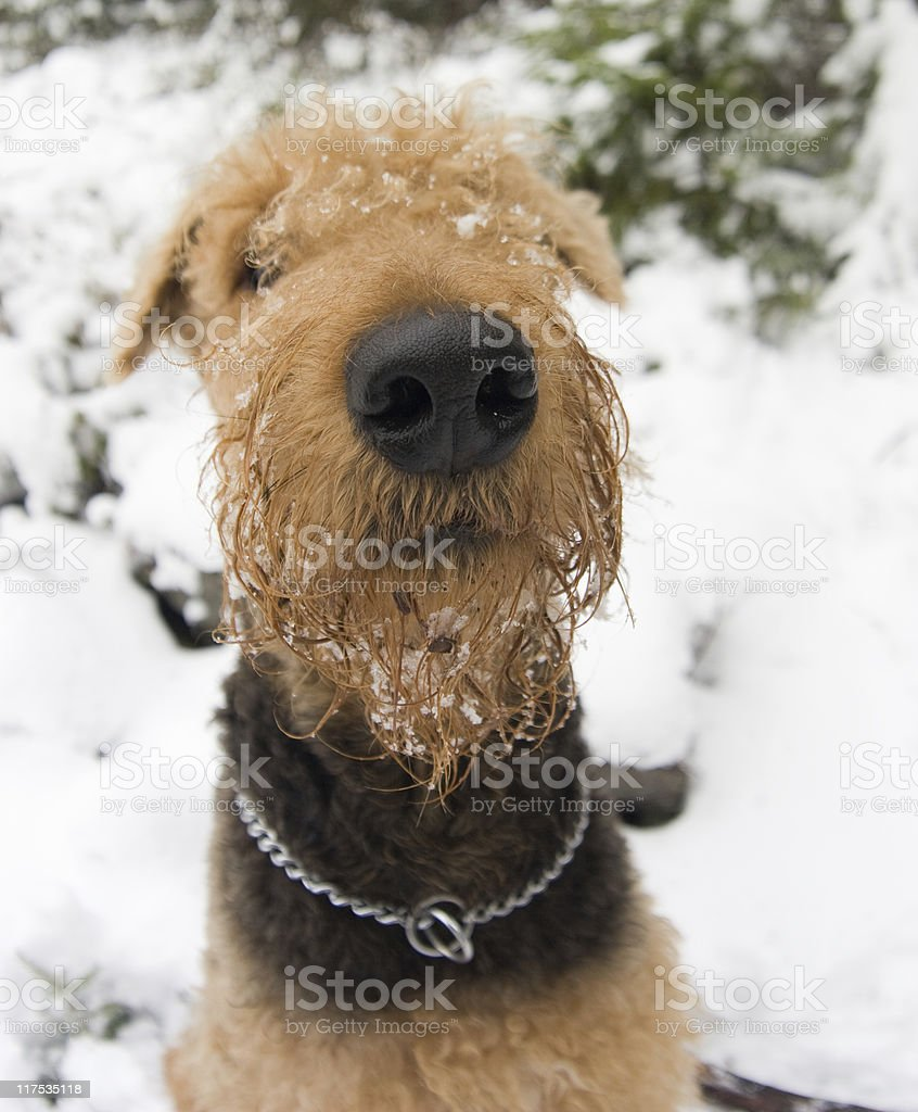 Airedale terrier fisheye's portrait stock photo