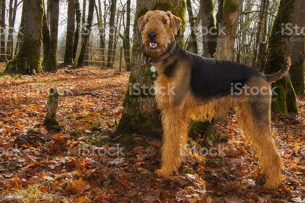 Airedale terrier in fall setting stock photo