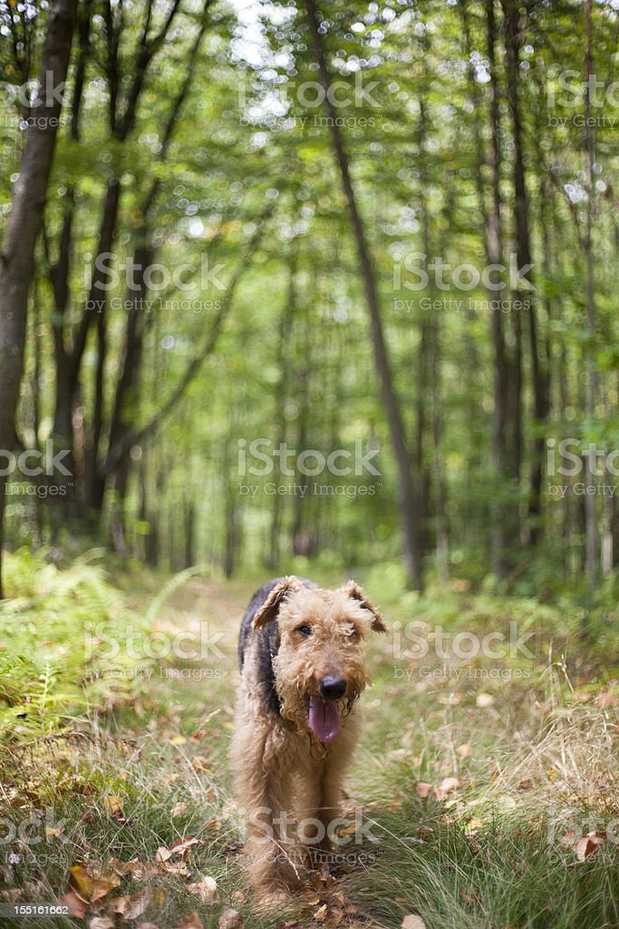 Airedale terrier in forest stock photo