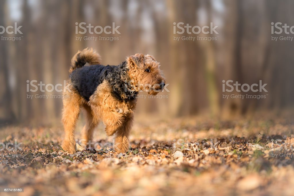 Airedale Terrier in the forest stock photo
