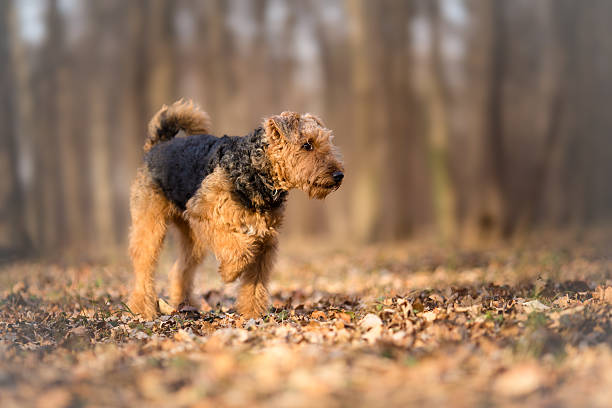 Airedale Terrier in the forest - Photo