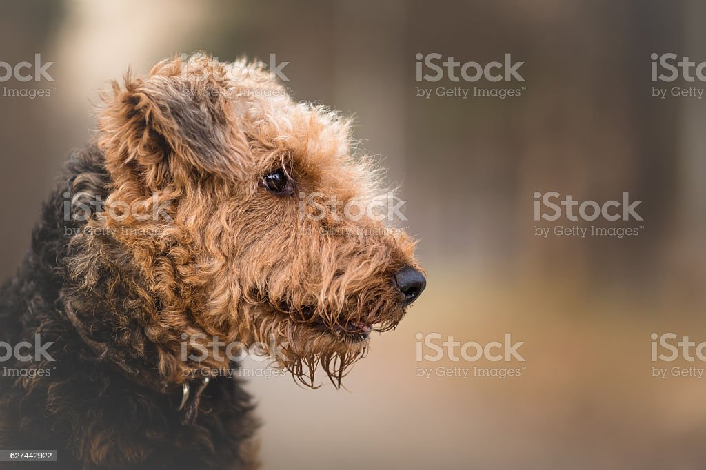 Airedale Terrier in the forest portrait stock photo