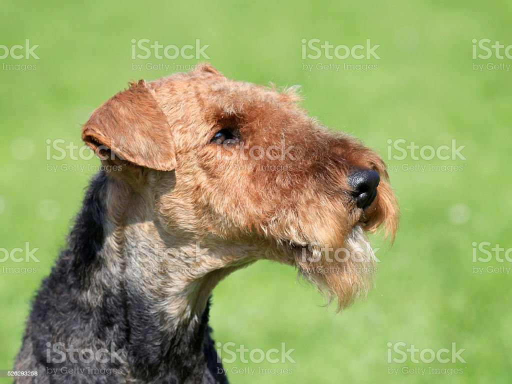 Airedale Terrier  in the spring garden stock photo