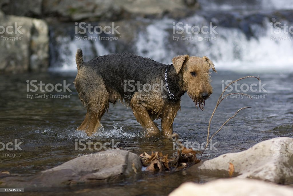 Airedale terrier in the water stock photo