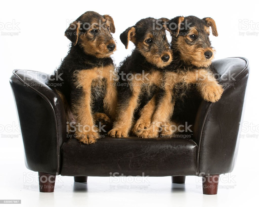 airedale terrier litter stock photo