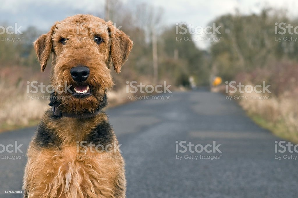 Airedale terrier on open country road stock photo