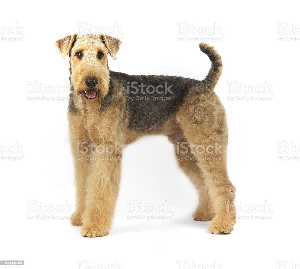 Airedale Terrier on White Background in Studio stock photo