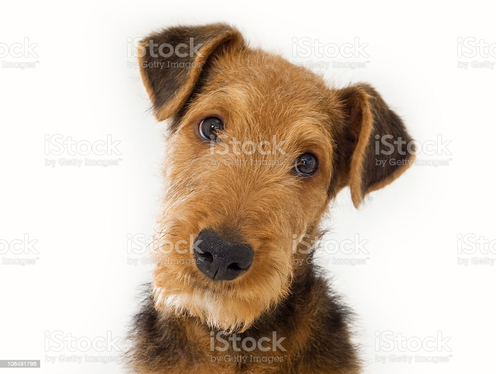 Airedale Terrier royalty-free stock photo