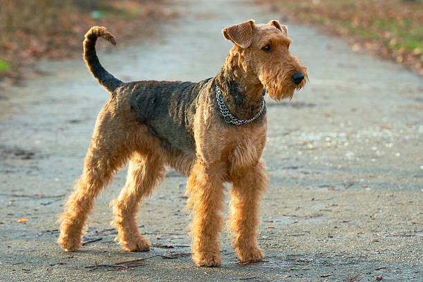 Airedale terrier - Photo