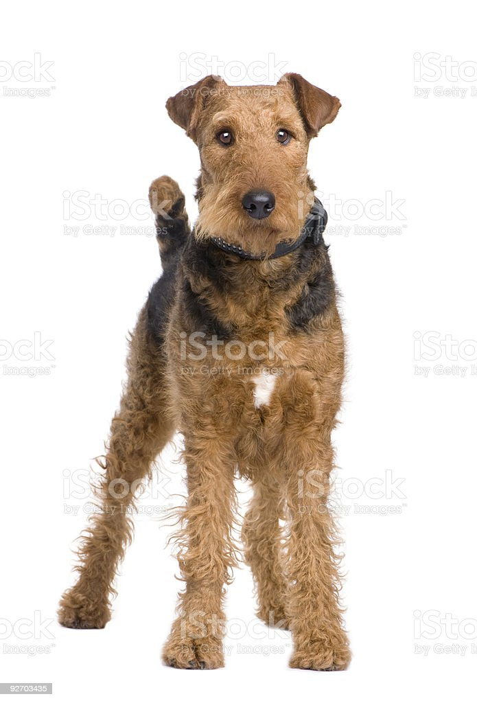 Airedale Terrier (2 years) stock photo