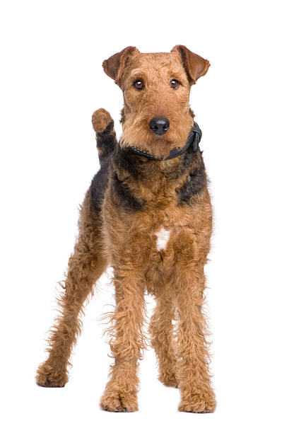 Airedale Terrier (2 ans - Photo