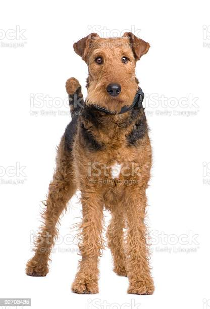 Airedale Terrier Stock Photo - Download Image Now