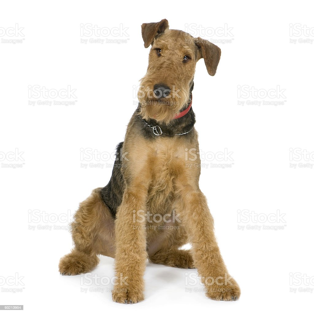 Airedale Terrier (1 year) stock photo