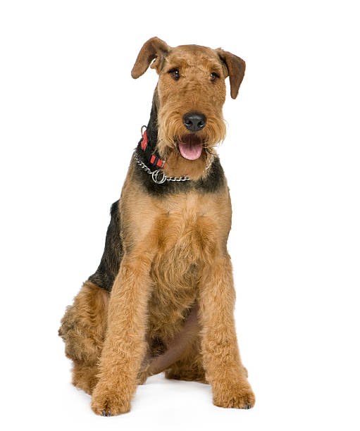 Airedale Terrier (1 an - Photo