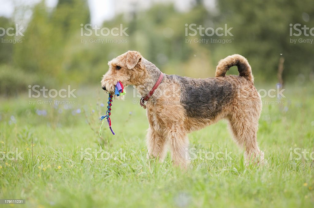 Airedale Terrier playing with rope toy stock photo