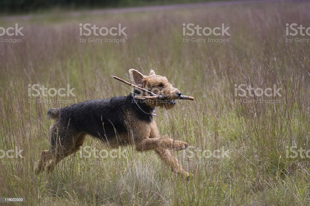 Airedale terrier run stock photo