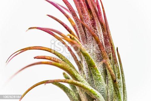 Close-up, macro photo of a beautiful air plant.