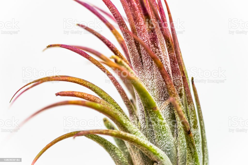 Airplant Tillandsia Ionantha 'red' photographed against a white background stock photo