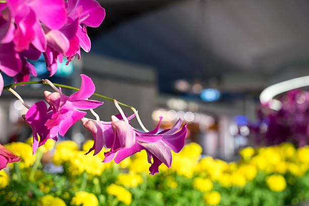 Airport Orchids Orchids on display at Suvarnabhumi airport, Bangkok apostrophe stock pictures, royalty-free photos & images