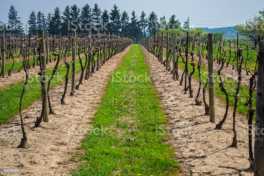 Aisle of an exhausted vineyard on a clear day stock photo