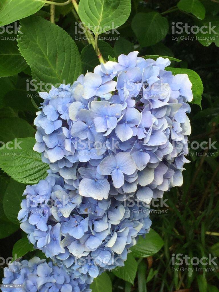 Ajisai flower in June Kamakura, Ajisai Dera, Japan stock photo