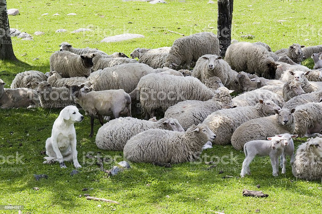 akbash guarding sheep royalty-free stock photo