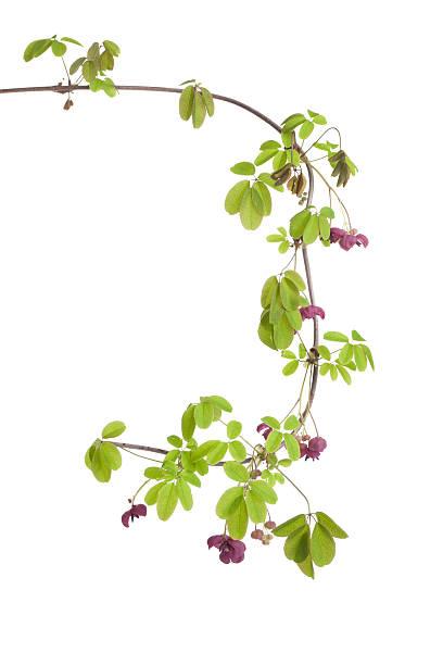 Zweig mit blühenden Akebia – Foto
