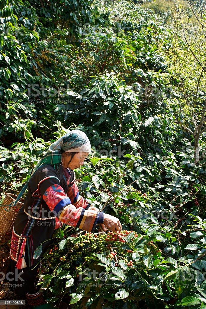 Akha Coffee Harvest stock photo