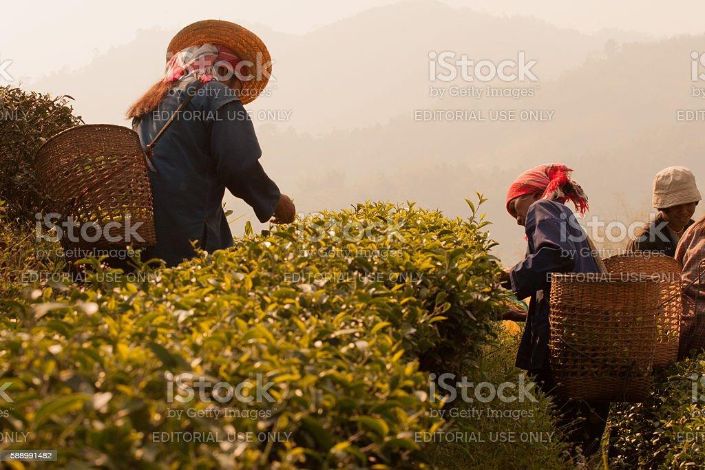Akha ethnic group, harvesting tea leaves stock photo